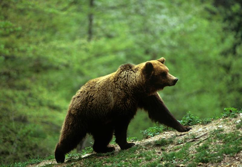 L'orso all'interno del Parco Adamello Brenta